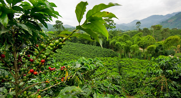 Picture of a coffee plantation at the Ha